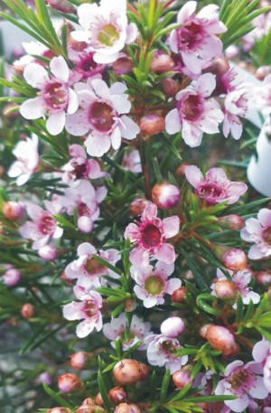 flor de cera chamaelacium rosa planta