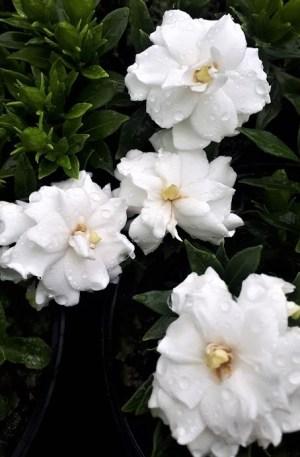 gardenia super star