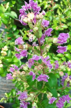 lagerstroemia petit violet árbol de júpiter lila