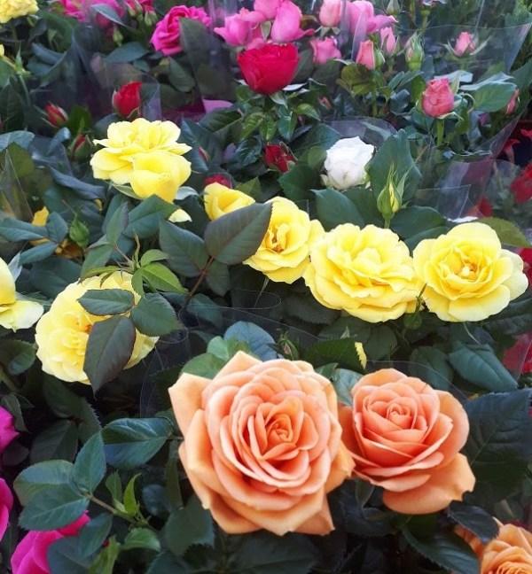 rosal mini pitiminí