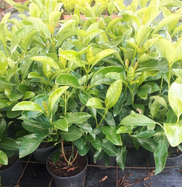 viburnum lucidum o viburno lucido
