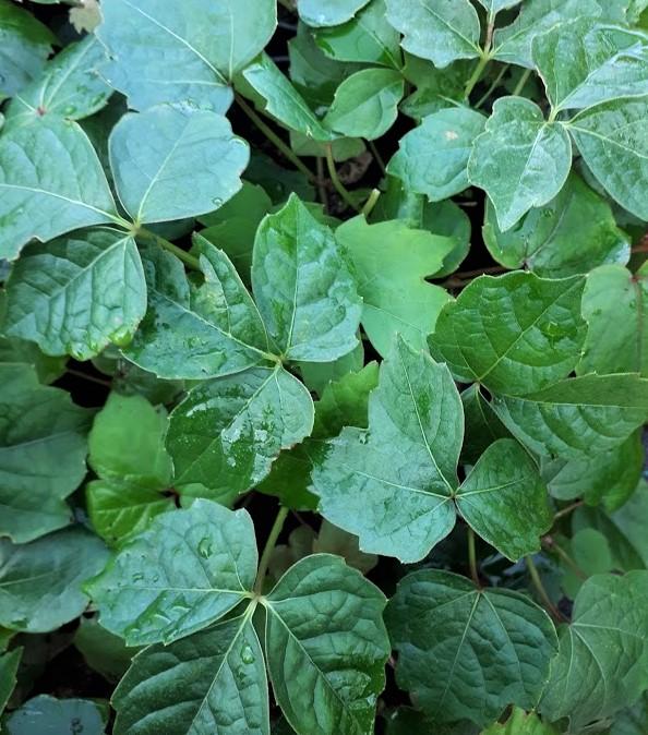 ampelospis parthenocissus tricuspidata