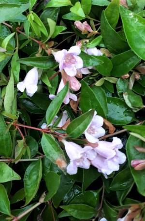 abelia edward goucher de flor rosa