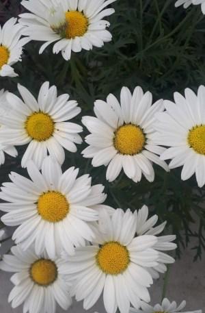 argyrantemon o planta margarita blanca centro amarillo