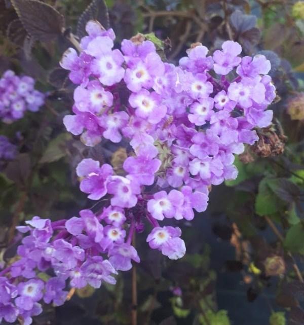 lantana lila azul