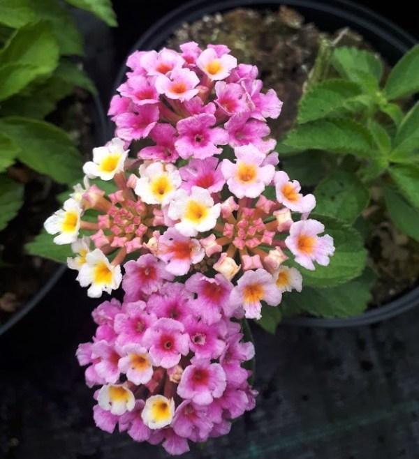 lantana fresa tricolor