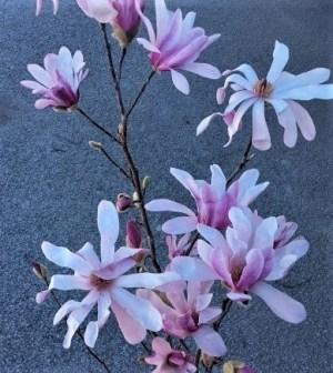 magnolia leonard mesel