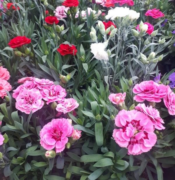 clavelina dianthus