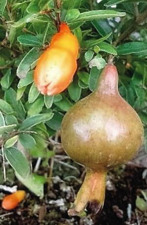 granado enano punica granatum nana
