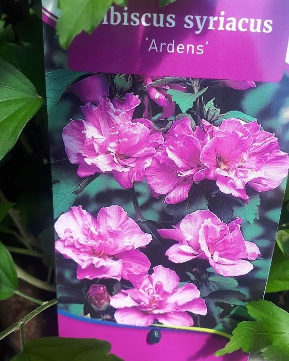 hibiscus syriacus ardens doble