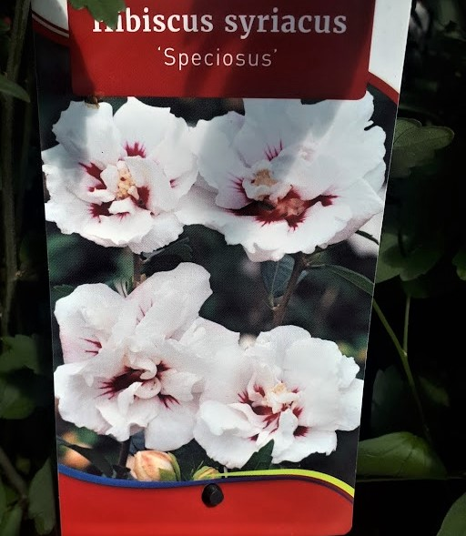 HIBISCUS SYRIACUS SPECIOSUS BLANCO ROSA DE SIRIA FLOR DOBLE