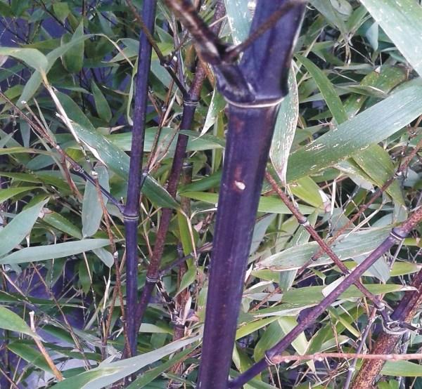 phyllostachis nigra bambú negro