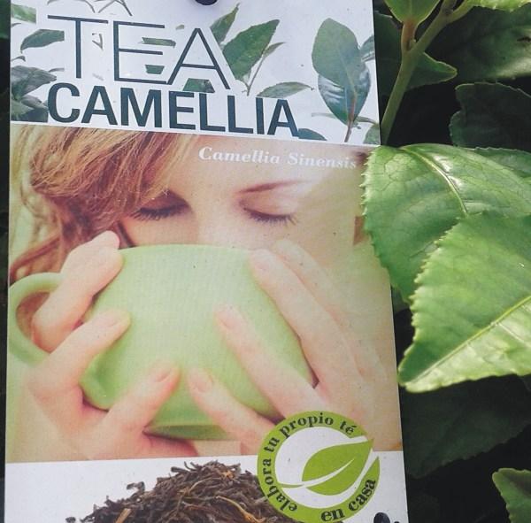camelia sinensis o árbol del té