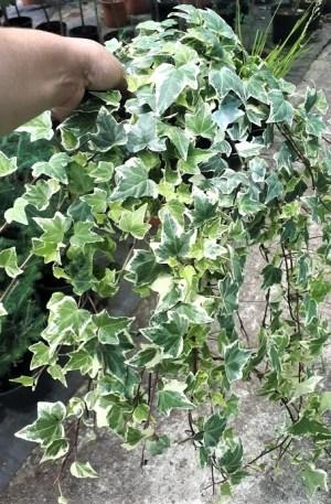 hiedra mini variegata planta trepadora o tapizante