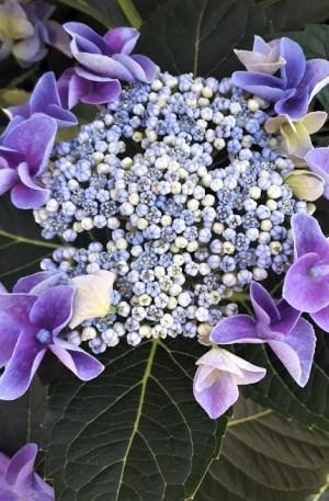 hortensia azul teller hydrangea