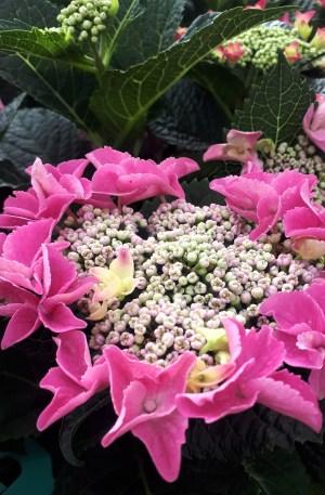 hortensia roja hydrangea teller