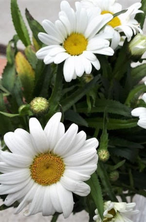 leucanthemum snow lady margaritón