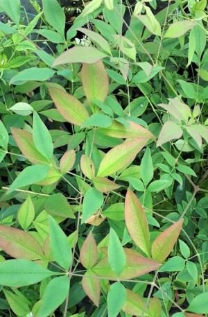 nandina domestica bambú sagrado