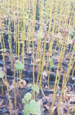 planta de betula bido o abedul forestal repoblaciones