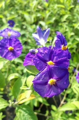 planta de solanum rantonetti azul o morado