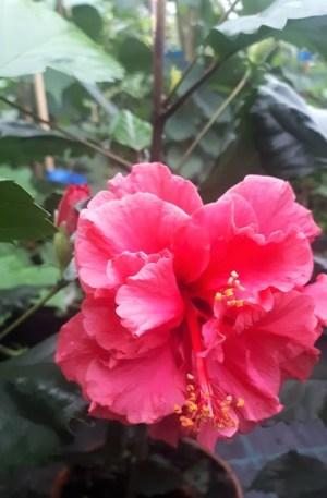 hibiscus rosa sinensis flor rojo doble