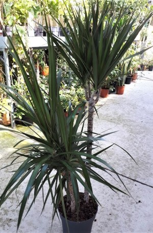 dracena, planta palmera interior