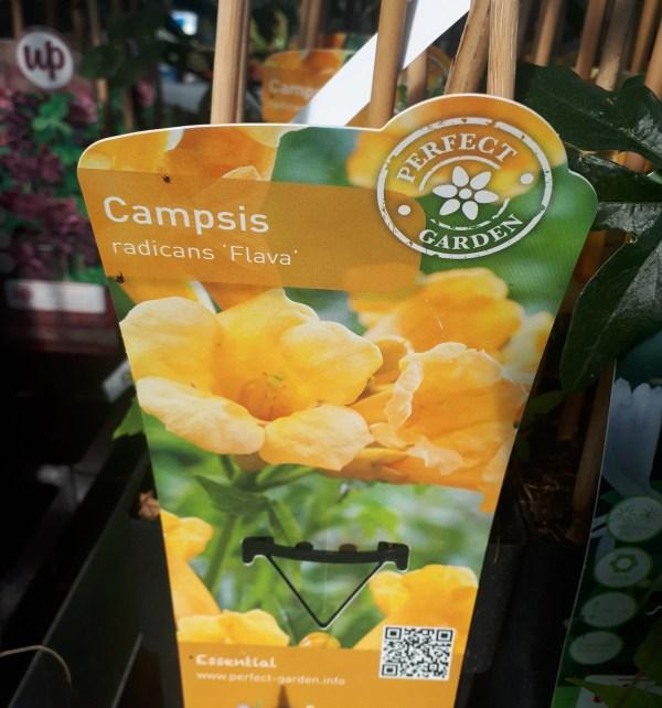 campsis radicans flava amarilla